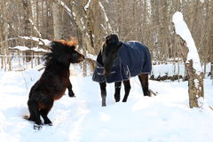 Shetland pony and horse playing in the winter Stock Image