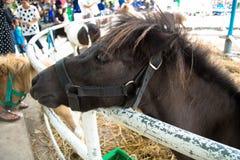 Shetland pony horse Royalty Free Stock Photos
