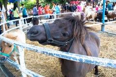 Shetland pony horse Royalty Free Stock Photography
