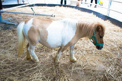 Shetland pony horse. Is a horse, the smallest in the world. The development of horse breeds in Argentina a family farm La Bella A body compact hair color is Royalty Free Stock Image