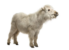 Shetland Pony isolated on white Stock Photo