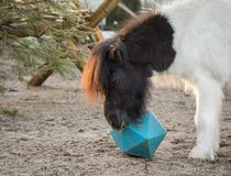 Shetland pony playing with ball, as he tries to get treats from horse ball toy stock image
