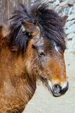 Shetland pony portrait with a massive mane stock image