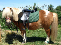 Shetland Pony with riding harness Royalty Free Stock Photography