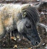 Shetland pony`s head 1 Stock Photo