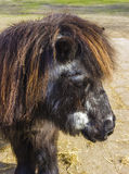 Shetland pony senior Royalty Free Stock Image