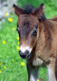 Shetland pony, Shetland Stock Photo