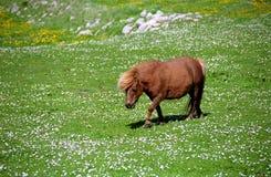 Shetland pony, Shetland Royalty Free Stock Image