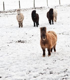 Shetland pony in snow covered landscape Stock Photo