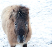Shetland pony in snow covered Winter landscape Royalty Free Stock Photo