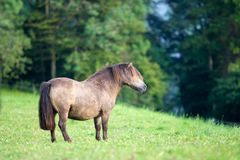 Shetland pony stand on green background. Shetland brown pony mare standing outdoors on green background in summer background, static. Horizontal photo royalty free stock image