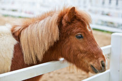 Shetland pony is standing by the fence Stock Image