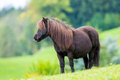 Shetland pony standing on green hill Stock Photos