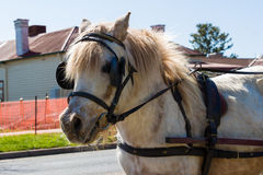 Shetland Pony Wearing a Harness. A light coloured Shetland Pony with a harness Royalty Free Stock Photos
