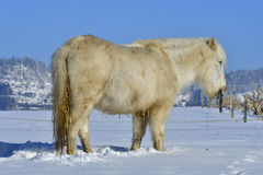 Shetland pony in winter Stock Image