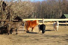 Shetland ponys in a park stock image