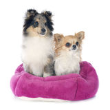 Shetland puppy and chihuahua Stock Photos