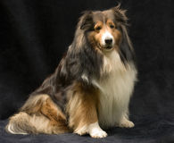 Shetland-Schäferhund Stockbild