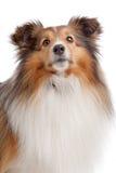 Shetland-Schäferhund Lizenzfreie Stockbilder