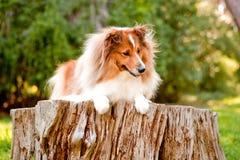 Shetland-Schäferhund Lizenzfreies Stockbild