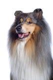 Shetland-Schäferhund Stockbilder