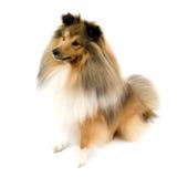 Shetland-Schäferhund Lizenzfreies Stockfoto