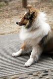 Shetland-Schäferhund Stockfoto