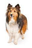 Shetland-Schäferhund-Hund getrennt auf Weiß Lizenzfreie Stockfotografie