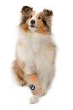 Shetland-Schäferhund mit dem verletzten Fahrwerkbein Lizenzfreies Stockfoto