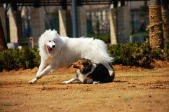 Shetland-Schäferhund und Samoyede Stockfotografie