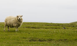 Shetland sheep. Sheep in open field, Shetland Islands stock photo