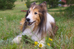 Shetland Sheep Dog Royalty Free Stock Image
