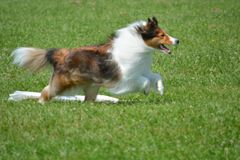 Shetland Sheep Dog Coursing. Shelties love to course even though they are a herding breed Stock Image