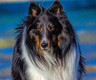 Shetland Sheep Dog Stock Photo