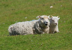 Two sheep lying in a field Royalty Free Stock Photos