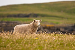 Shetland sheep. Famous for its wool Royalty Free Stock Image