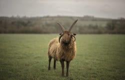 Shetland Sheep Stock Image