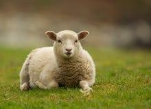 Shetland sheep lamb. Laying on the grass, Noss, UK Stock Photography