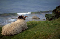 Shetland sheep at the seaside Royalty Free Stock Photo