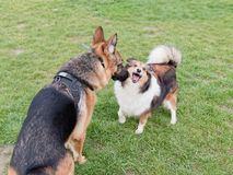 Shetland sheep shouting at german shepherd dog when the big one try to sniff her, funny expression.  stock photo