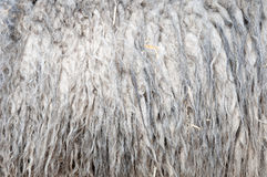 Shetland Sheep Wool (Ovis aries) Royalty Free Stock Photos