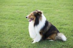Shetland Sheepdog royaltyfria foton