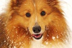 Shetland sheepdog Royalty Free Stock Photography