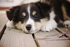Shetland sheepdog Royalty Free Stock Photo