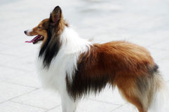 Shetland sheepdog Royalty Free Stock Photos