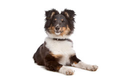 Shetland sheepdog Royalty Free Stock Photography