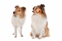 Shetland sheepdog. In front of a white background royalty free stock images