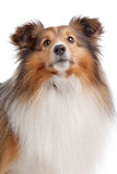 Shetland sheepdog Royalty Free Stock Images