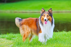 Shetland sheepdog. A 4-year-old Shetland sheepdog(shelti) is standing on the grassland by the lake staring to the camera Royalty Free Stock Image