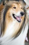 Shetland Sheepdog arkivfoton